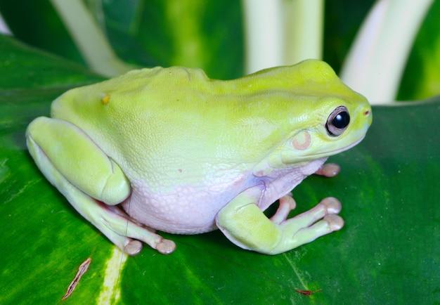 緑のカエル
