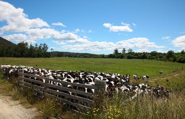 フェンスの後ろに牛