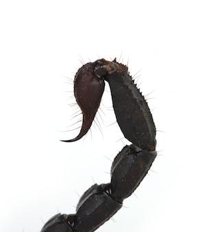 Скорпион хвост