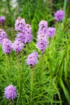 フィールドの夏のラベンダーの花