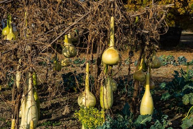 ひょうたんの収穫