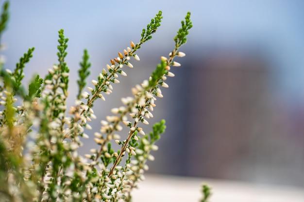 庭のカルナの花