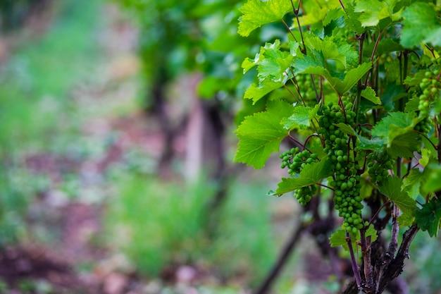 Виноградник в пасмурный день