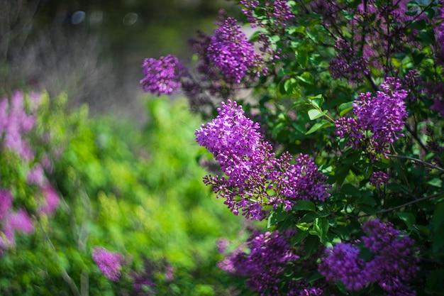 咲くライラックブッシュ