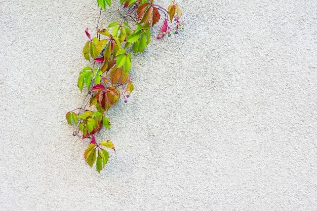 古い壁とつる植物