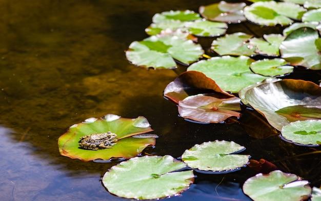 池の緑のカエル