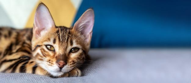 ベッドで寝ているベンガル猫とバナー。