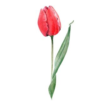 エレガントな赤いチューリップと水彩の組成物。つぼみ、花、葉