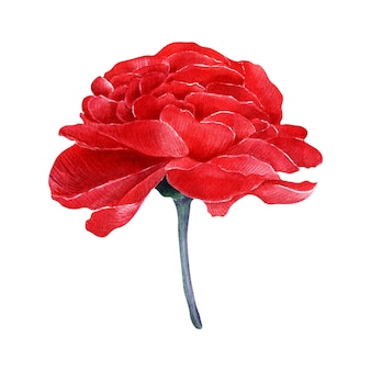 Отдельные акварельные образы розы