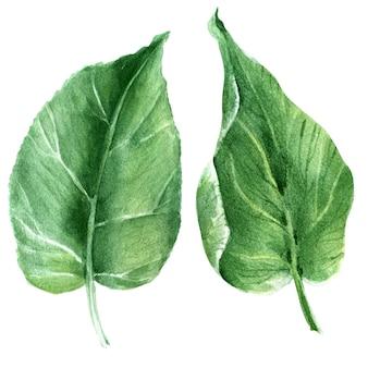 キウイツリーのさまざまな詳細と水彩の分離イメージ。葉