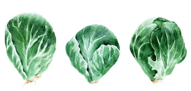 キャベツの種類と水彩イラスト。芽キャベツ