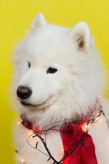 Большая белая собака лайка.