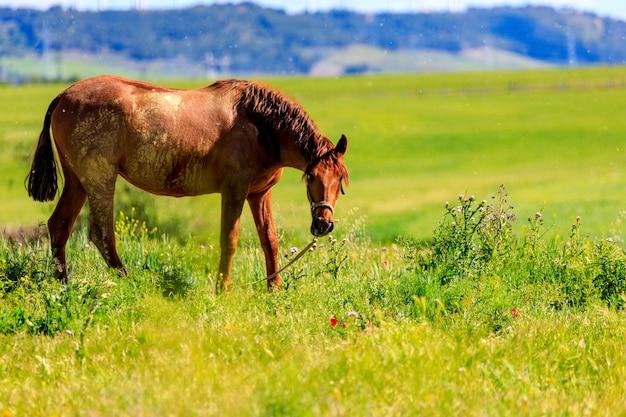 牧草地で春に放牧黒い馬。コートを変更します。