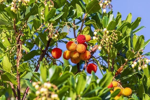 マドロノ(熟したアービュートス)の成熟した半熟果実。緑の葉と赤い果実の自然な風合い