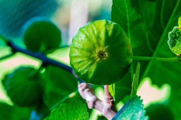 秋の日の出のイチジクの木のクローズアップの緑と熟したイチジク。