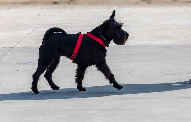 Собака породы шнауцер мини. передний план. ходьба. черно-красный и блошиный воротник.