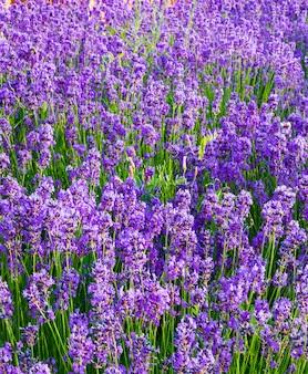 Лаванда, драгоценные декоративные растения, дикие с сиреневыми цветами, голубоватые, голубые. аромат и вкусные духи.