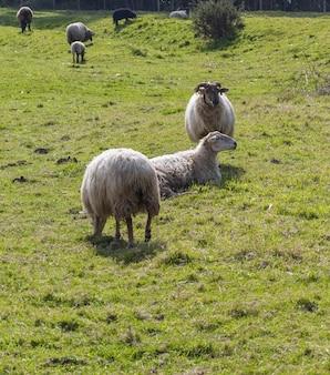 Стадо длинношерстных овец (светлая шерсть) белого цвета, пасущихся на зеленом лугу. кантабрия.