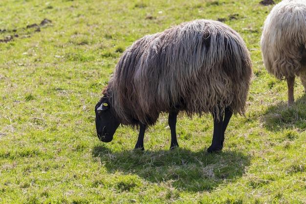 Овцы длинных волос (шерсть) черного и белого цвета. кантабрия.