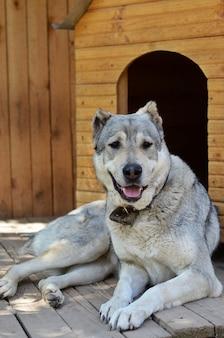 家の近くで大きな犬が休んでいる