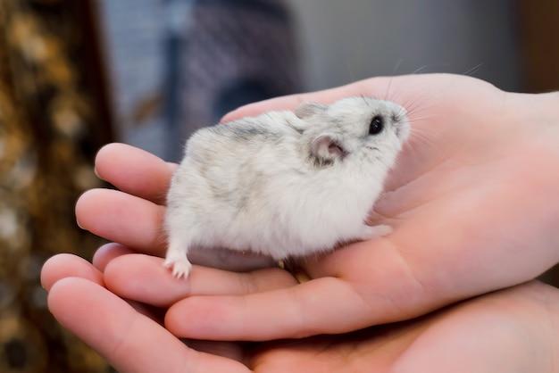 Серый хомяк в руке