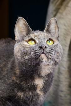 Серый кот с желтыми глазами смотрит вверх