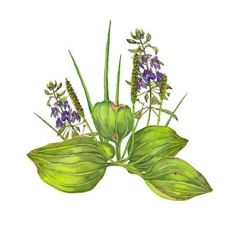オオバコ、草、花。水彩画。