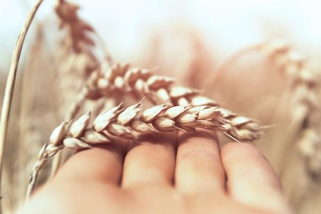 Мужская рука держит пшеницу в поле