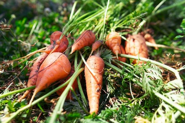 Пучок свежей моркови с зеленью на земле