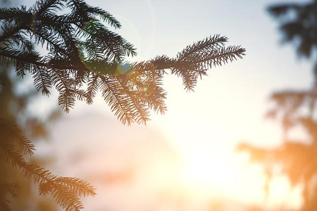 Сосновая ветвь и заходящее солнце
