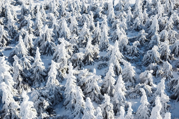 Много снежных елей, вид сверху.