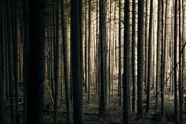 森の背景。森の木々の間から太陽が輝く