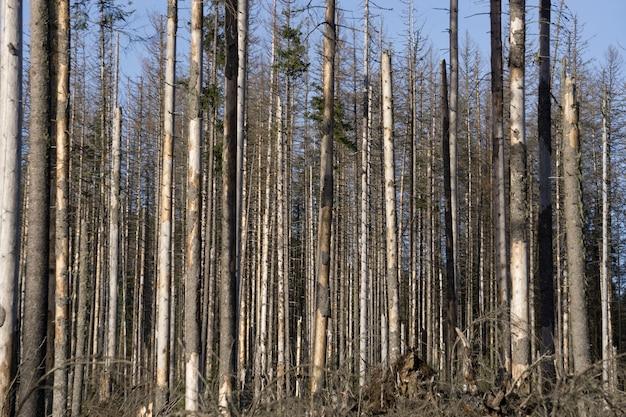 Мертвые деревья в высушенном лесу. глобальное потепление