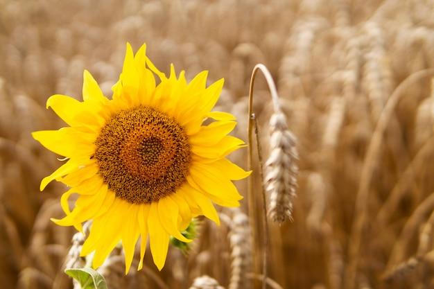 麦畑のひまわり。農業。美しい夏の風景