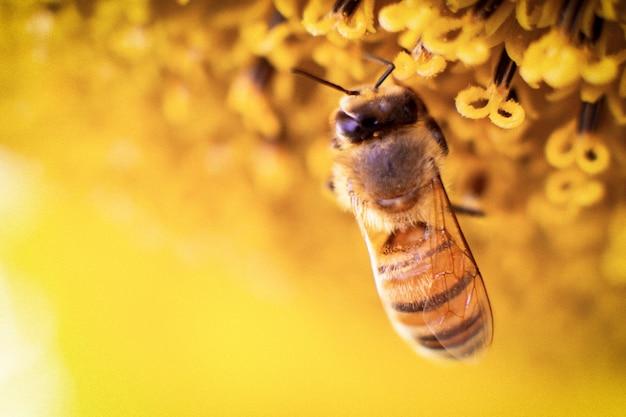 蜂はひまわりから蜜を集める