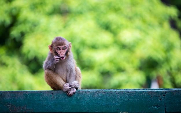 ネパール、カトマンズのソヤンブー寺院で面白い子供猿。