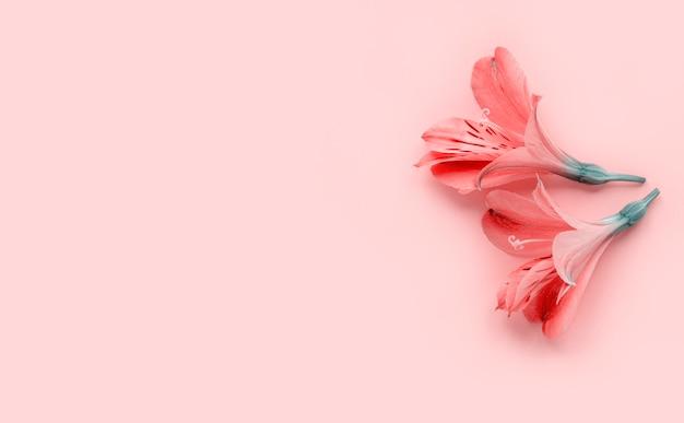 パステルピンクの背景、最小限のスタイルにピンクの花。フラットレイアウト、コピースペース。