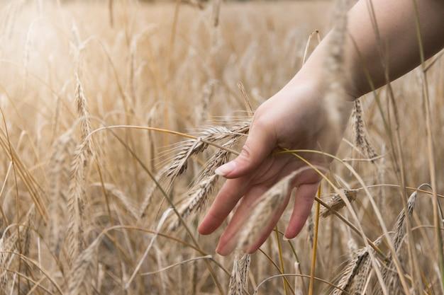 小麦畑。黄金の小麦の耳を保持している手をクローズアップ