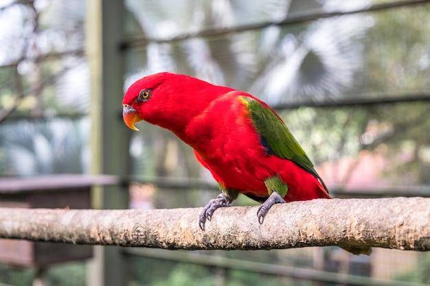 鳥小屋に座っているチャタリングローリーのクローズアップ