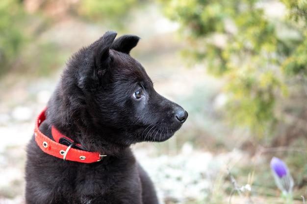 Портрет крупного плана милого черного щенка немецкой овчарки с красным воротником на природе