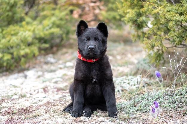 Маленький щенок черной немецкой овчарки с красным ошейником сидит на траве