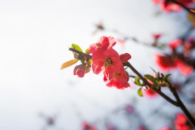 マルメロの赤い春の花