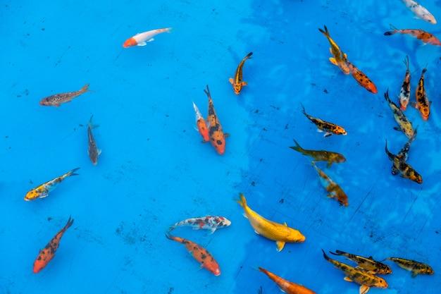 青いプールの金魚