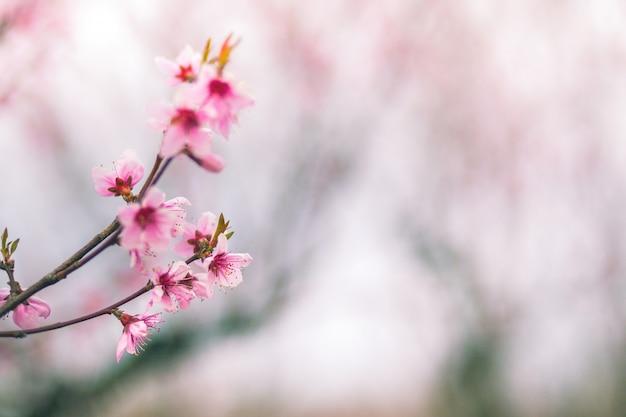 Нежные розовые цветы персика крупным планом