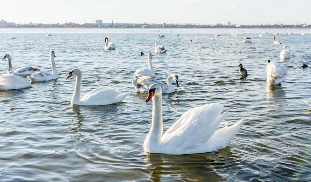 湖の上の白い白鳥