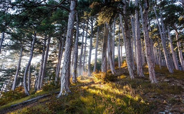 太陽の光が山の秋の森の木々を突き破る