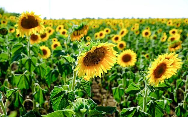 Поле цветущих подсолнухов. поле подсолнухов летом в солнечную погоду