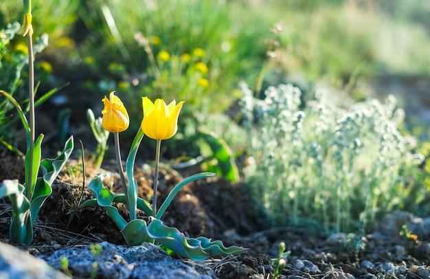 山の中の黄色の野生のチューリップ