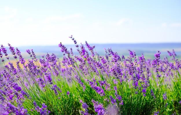 夏の晴れた日のラベンダー畑を開花します。
