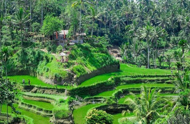 棚田。バリの伝統的な田んぼ。緑の水田